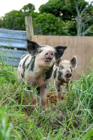 Two piglets foraging in the mud in their pen. New Plymouth, New Zealand. Farm Animals Pigs Animal Themes Cute Animals Day Foraging Foraging For Food Grass Happy Pigs Lifestyle Block Mammal Nature No People Outdoors Pets Pig Pen Pig Sty Piglets Two Animals