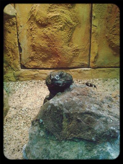 Taking Photos Lizard Animal_collection Artis