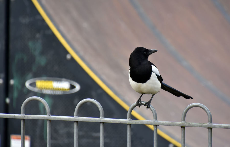 Animal Themes Animal Wildlife Animals In The Wild Bird Day Fence Focus On Foreground Magpie Nature No People One Animal Outdoors Perching Pica Pica Railing
