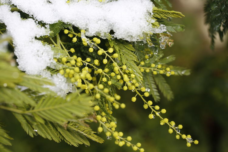 Mimosa under snow Mimosa Mimosa Flowers Mimosa Tree Snow Covered Snow Covered Trees Taking Photos Beautiful Nature 3XPUnity Flowers Of EyeEm Nature Tree Snow Branch Cold Temperature Winter Leaf Close-up Plant Green Color Flower Head