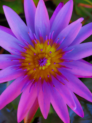 Flower Blossom Lotus Flower Purple Lotus Flower Yellow Flower Beauty In Nature Blooming Close-up Day Flower Flower Head Fragility Freshness Growth Lotus Nature No People Outdoors Petal Plant Purple Flower Purple Lotus Yellow Lotus