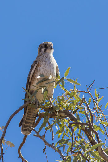Brown Falcon (Falco berigora) Animal Themes Animal Animal Wildlife Animals In The Wild Vertebrate Bird Low Angle View Perching One Animal Sky Plant Tree Branch Clear Sky Nature Blue No People Day Bird Of Prey Sunlight Outdoors Falcon - Bird