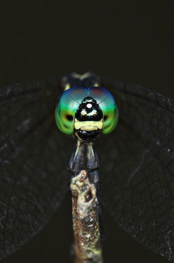 Dragonfly EyeEm Nature Lover EyeEm Gallery Macro Photography Animal Animal Eye Animal Themes Animal Wildlife Animals In The Wild Black Background Close-up Day Focus On Foreground Green Color High Angle View Insect Invertebrate Metal Nature No People Old One Animal Outdoors