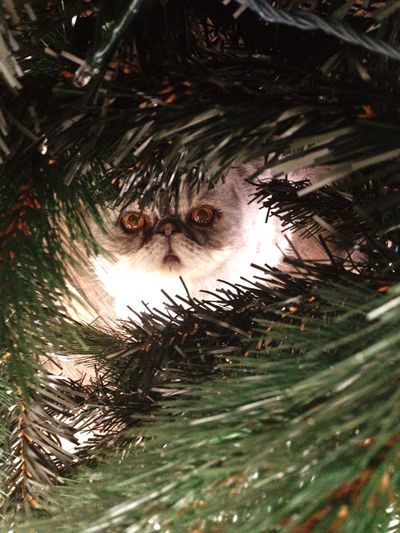 Hello World Pet Photography  Cute♡ Exotic Cat Christmas Cat♡ Mr.chip Taking Photos