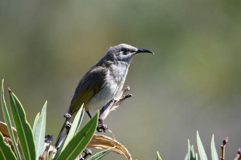 Honeyeater EyeEm Selects Bird Animal Themes Animals In The Wild Animal Wildlife Vertebrate Animal Beauty In Nature No People Day Outdoors Growth Full Length Close-up Green Color Focus On Foreground Nature Plant One Animal Perching