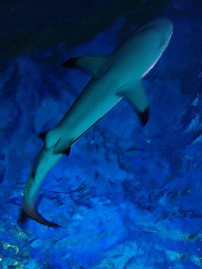 Shark Blue Shark UnderSea One Animal