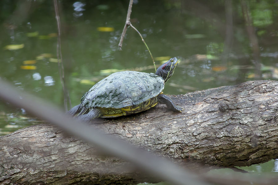 Trachemys scripta elegans are on a branch. Trachemys Scripta Elegans Amphibian Solid Water Outdoors Selective Focus Tortoise Shell Animal Shell Tree Rock Reptile No People Nature Vertebrate Animals In The Wild Day Animal Wildlife Turtle Animal Animal Themes One Animal Red-eared Slider
