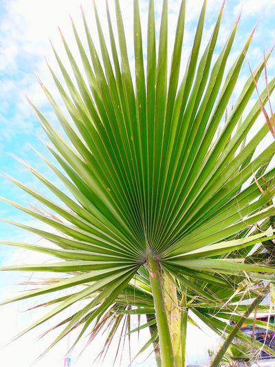 Growth Nature Low Angle View Palm Tree Tree Day Outdoors Close-up Freshness Flower No People Beauty In Nature Sky Turkey Türkiye First Eyeem Photo Karasu Karasu Sahil Girls Sea First Eyem Photo Sakarya City Love Photography The Graphic City