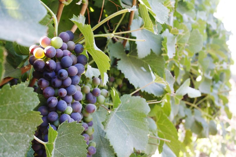 Fruit Grape Growth Bunch Healthy Eating Vineyard Nature Vine - Plant Organic Plant Crop  Food Food And Drink Outdoors Hanging Leaf Nature Beauty In Nature Plant Canon 1000D Grapes Grapes🍇 No People Close-up HD Wine Not EyeEm Selects