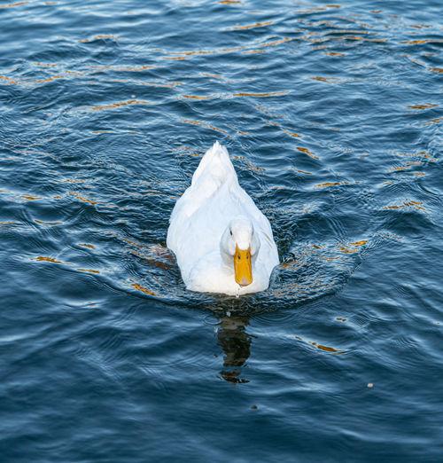 Large white pekin peking aylesbury american heavy single white duck water fowl low level close up