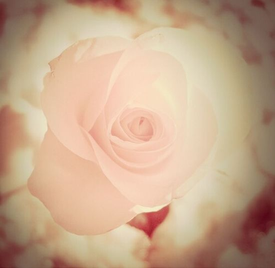 rose#cute#beautiful#love