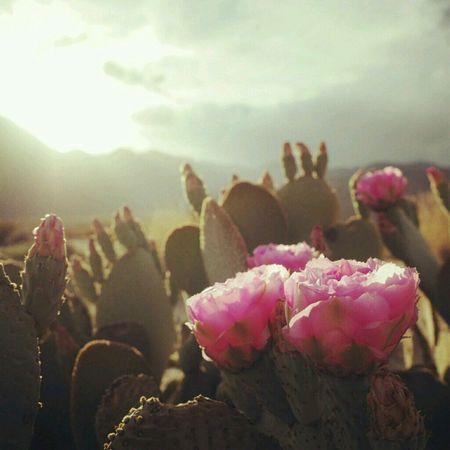 USA Traveling Desertflower Borrego Springs