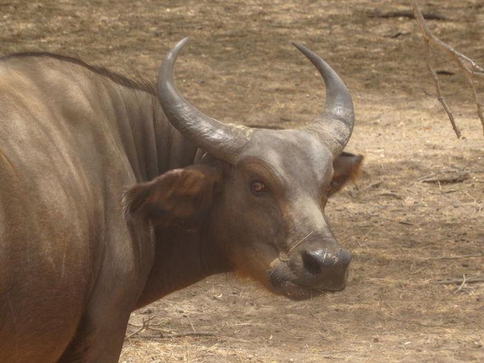 Bandia reserve African Safari Animal Themes Animals In The Wild Antler Bandia Reserve Day Domestic Animals Horned Livestock Mammal Nature No People One Animal Outdoors Safari Water Buffalo EyeEmNewHere