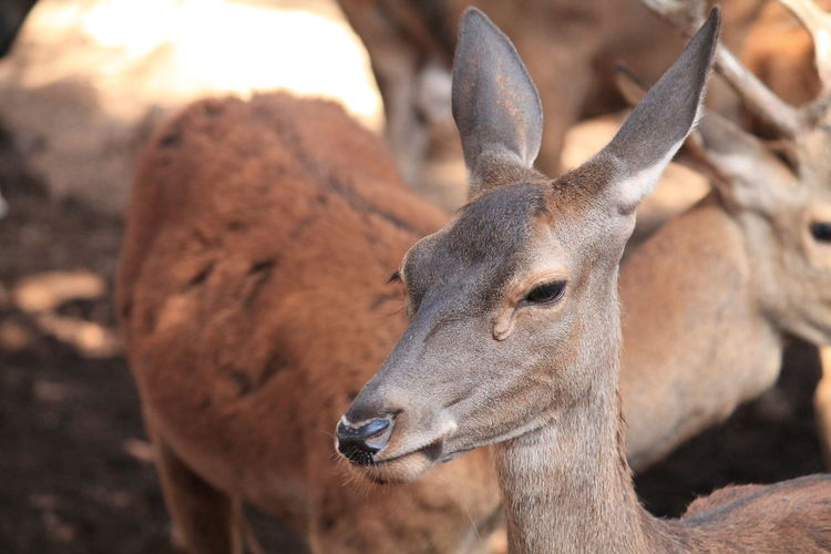 Deer portrait IV No Filters Or Effects No Filter, No Edit, Just Photography Animal Themes Animal Wildlife Animals In The Wild Cazorla Cazorla Jaen Close-up Mammal Nature No People One Animal Outdoors Portrait