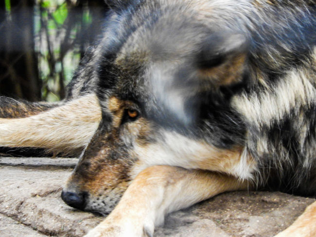 One Animal Animal Themes Mammal Domestic Animals Relaxation No People Day Dog Animal Head  Eyes Closed  Outdoors Sleeping Close-up Pets Lying Down Animals In The Wild Nature Resting Lobo Wolf Eyes Wolfs  Full Frame Close-up Nature Nature EyeEm Selects