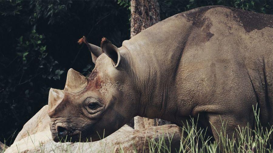 Rhino in a field