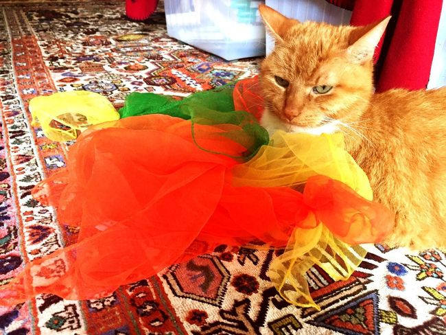 Ginger Cat Colour Of Life 3XPSUnity Silkscarves Colour Theraphy Creative Power Colour Therapy Cat Photography Multi Colored Catlifestyle Cat Collection Catch The Moment Pet Photography  Creative Photography Cat Lifestyle Catching The Moment My Favorite Photo Cat♡ Lucky Cat Close-up