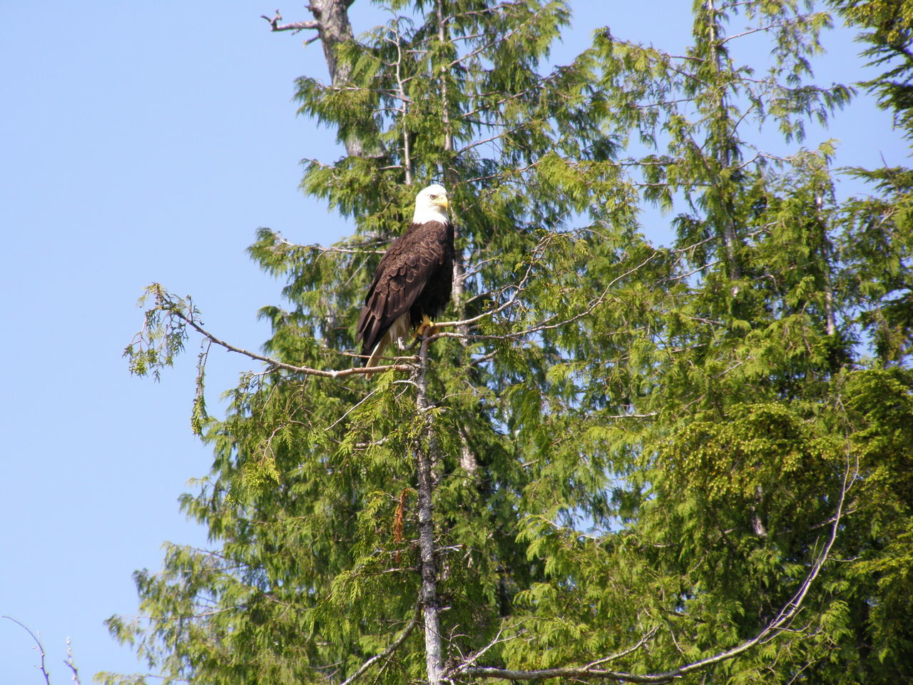 animal, animal themes, plant, animal wildlife, animals in the wild, tree, low angle view, one animal, vertebrate, bird, sky, bird of prey, branch, nature, growth, no people, perching, day, green color, beauty in nature, eagle, outdoors