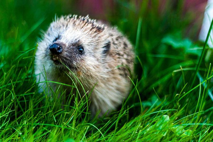 Close-up of hedgehog on field