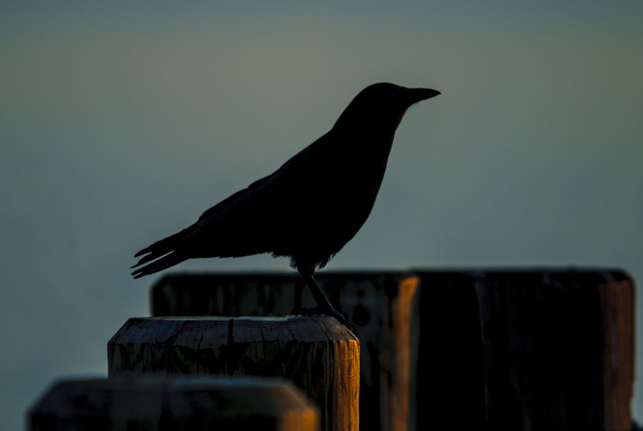 bird, animal themes, animal, vertebrate, one animal, animal wildlife, animals in the wild, perching, no people, wood - material, black color, nature, day, low angle view, focus on foreground, outdoors, architecture, roof, sky, zoology, wooden post