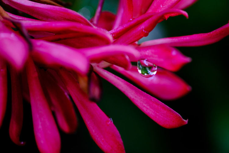 Birds Of Paradise Dew Pink Beauty In Nature Blooming Close-up Dew Drops Flower Flower Head Fragility Freshness Growth Nature Petal Pink Color Pink Flower Plant Water