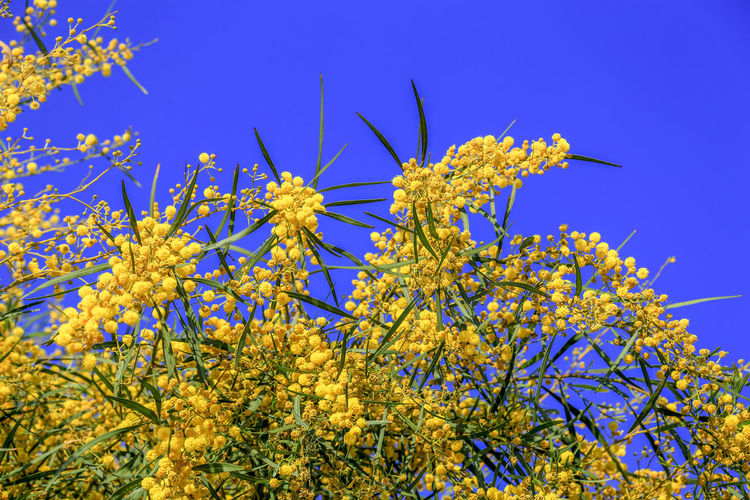 Mimosa flowers background. Blooming spring mimosa tree over blue sky and sun. Greeting card template. Shallow depth Flower Head Plant Flower Flowering Plant Beauty In Nature Tree Blue Nature Animal Sky Low Angle View Growth Yellow Clear Sky Branch Fragility Outdoors Mimosa Mimosa Flowers Mimosa Tree Blooming Bloom Blossom Springtime Background