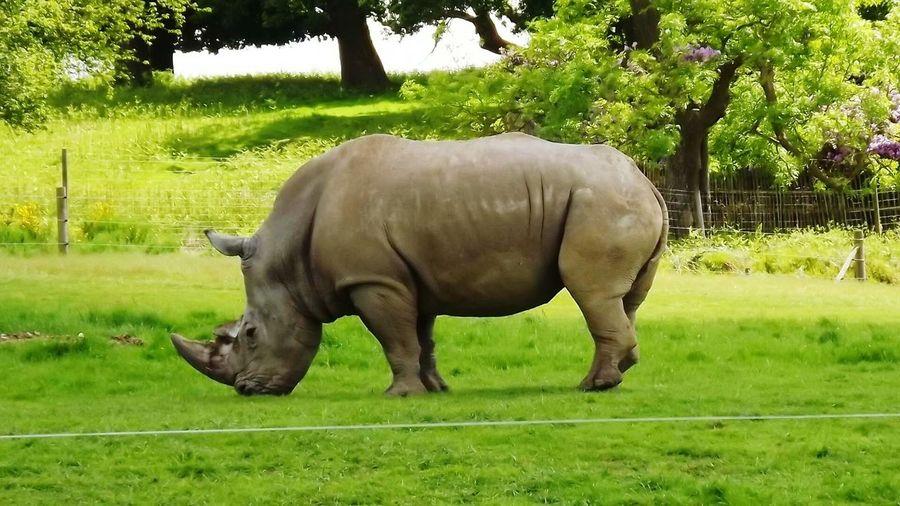 Woburn Rhino