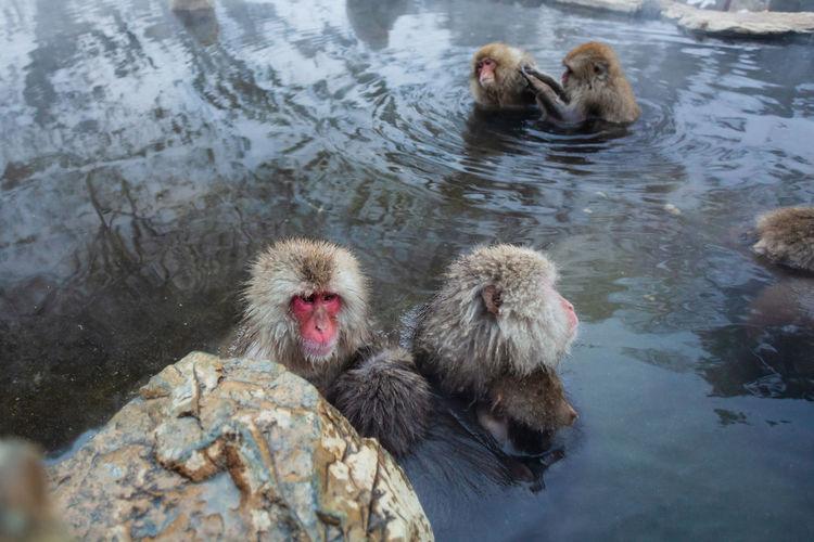 Japanese snow monkeys bathing in hot spring in winter
