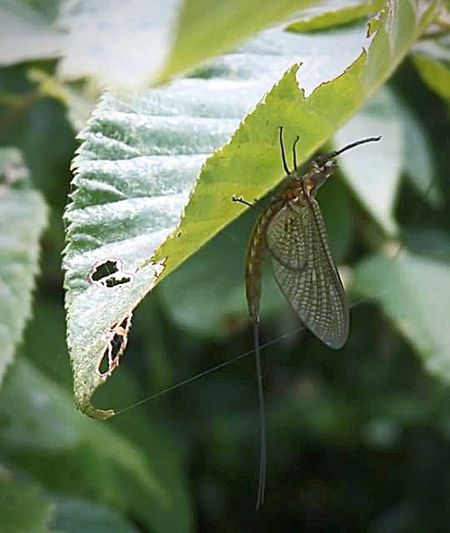Mayfly Lake Flying Insect Green Color Wings Butterfly - Insect Leaf Insect Close-up