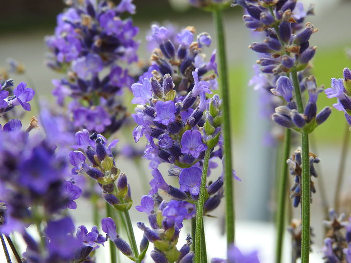Flowering Plant Flower Purple Plant Beauty In Nature Vulnerability  Fragility Freshness Growth Close-up Lavender Nature No People Selective Focus Day Petal Outdoors Plant Stem Inflorescence Flower Head