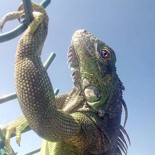 """""""Ya terminaron el documental de Las iguanas y sus cuidados, que bonita tarde para posar para las camaras"""" -Sra. Iguana La Malvada Sinfiltro Porque Creaci ónDeDios"""