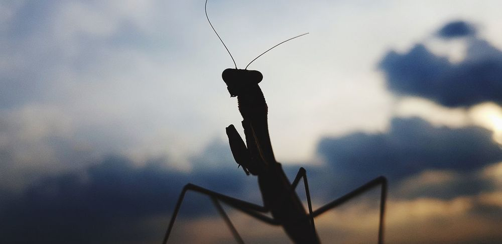 Mantis Animal Wildlife One Animal Animals In The Wild Day No People Outdoors Animal Themes Nature Close-up Bird Perching Sky Silhouette Photography Samsungphotography SamsunggalaxyS8+