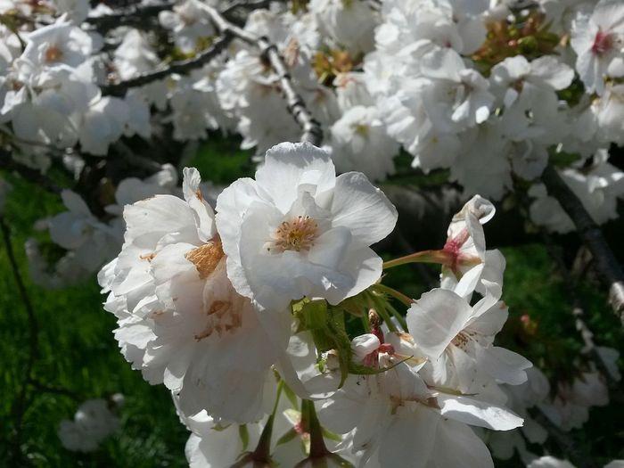 Flower Nature White Color Beauty In Nature Blossom Close-up Branch Freshness Sunlight Sunshine Springtime White Blossoms Green Grass White Blossoms Sun On A Flower