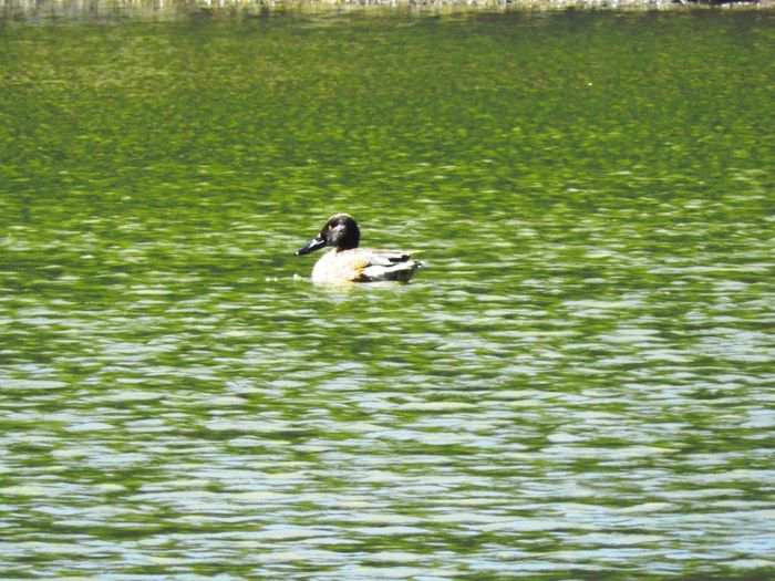 Migratory duck Animal Themes Animals In The Wild Bird Water Lake Nature Water Bird Swimming Waterfront One Animal Day No People Animal Wildlife Floating On Water Outdoors Beauty In Nature