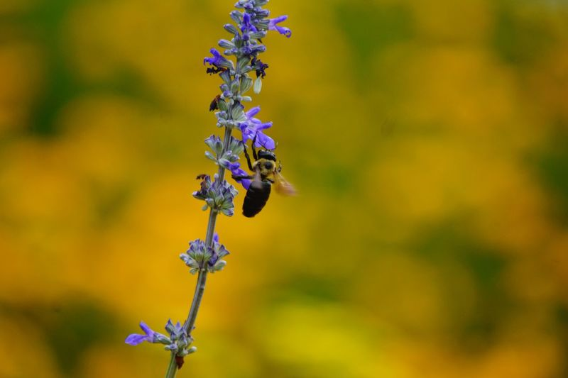 Purplebee