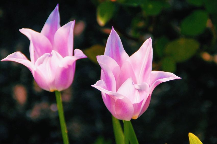 Flower Petal Flower Head Beauty In Nature Fragility Nature Freshness Growth Blooming Pink Color Outdoors Plant Focus On Foreground Close-up Day No People Lotus Lotus Water Lily Crocus