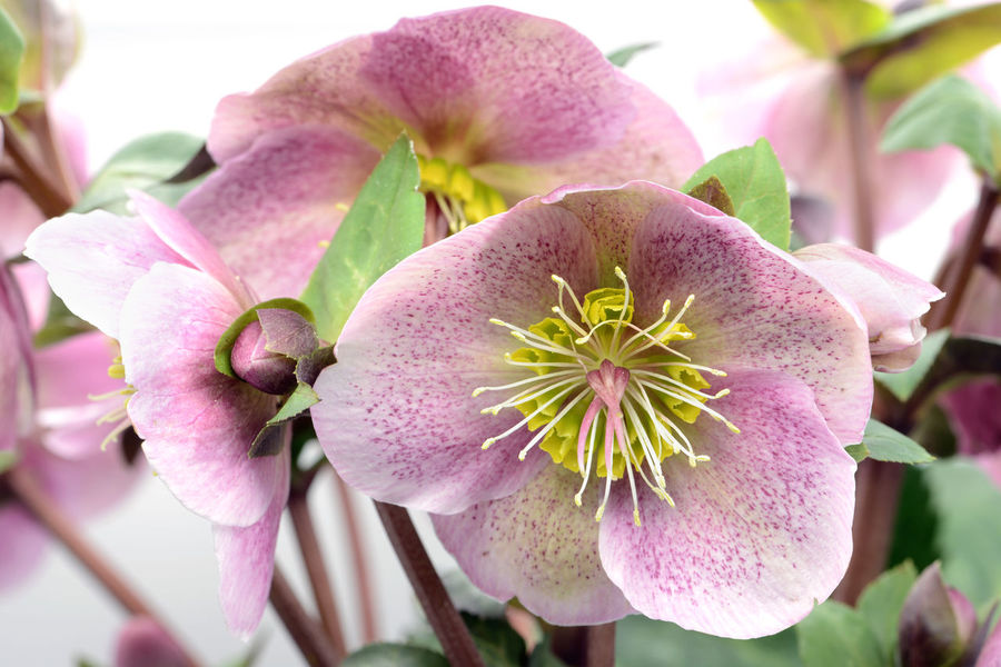 pink dotted hellebore flower on white background. Hellebores Helleborus Helleborus Foetidus Helleborus Niger Blooming Close-up Flower Flower Head Growth Hellebore Nature Petal Pink Color Plant