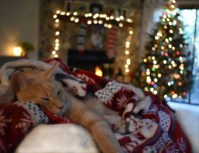 Cat sleeping in illuminated christmas tree at home