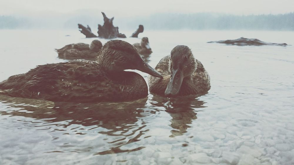Ducks in the Rain Eibsee Alps Alpen Bergsee The Great Outdoors - 2017 EyeEm Awards BYOPaper!