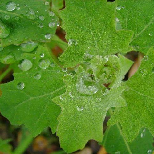 Rain On Maple Leaf