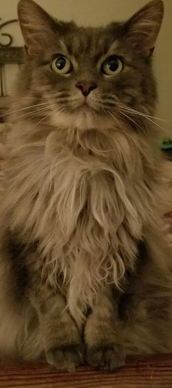 I am Beautiful Domestic Cat Pets Feline Domestic Animals Whisker Animal Hair Portrait One Animal Looking At Camera Animal Themes Mammal Indoors  No People Close-up Purrfect Furry Soft Kitty Cuteness Cat Fur Pet Cats Of EyeEm Catlovers Long Haired Cat