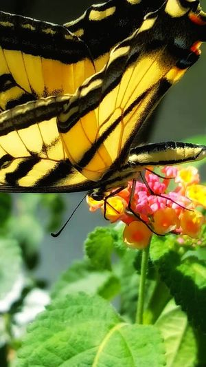 No Filter Needed Colour Of Life Butterfly Tigerswallowtail Tiger Swallowtail Delicate Beauty Color Palette Showcase August Home Is Where The Art Is Macro_collection EyeEm Nature Lover Insects Beautiful Nature Colours Of Nature Perspective Eye For Photography EyeEm Best Shots Macro Nature Macro Beauty Vivid The Essence Of Summer Close Up Close Up Nature Transparency Creative Light And Shadow Summer Vibes