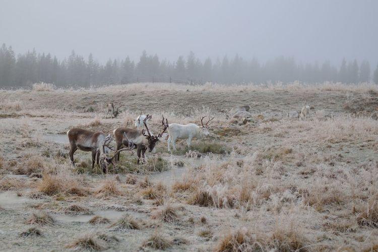 Reindeers on field