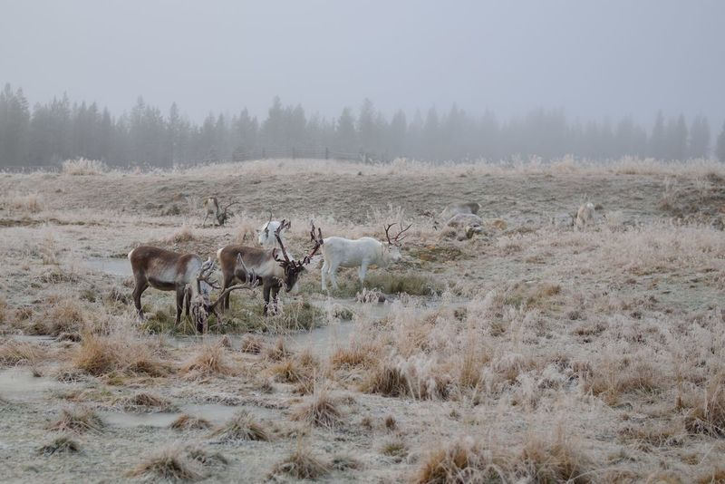 Herd of reindeer Beauty In Nature Day Field Grass Grazing Herbivorous Horned Landscape Lapland Lapland, Finland Livestock Mammal Medium Group Of Animals Nature No People Non-urban Scene Outdoors Reindeer Scenics Tranquil Scene Tranquility Winter