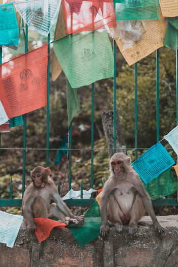 Monkeys sitting on retaining wall under praying flags