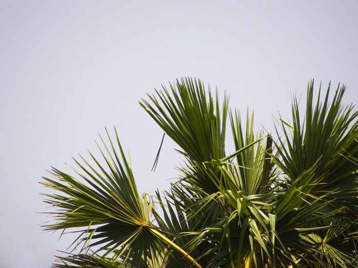 TREETOP Tree Palm Tree Clear Sky Sky Close-up Green Color Plant Frond Needle - Plant Part Tropical Tree Barrel Cactus Tropical Climate