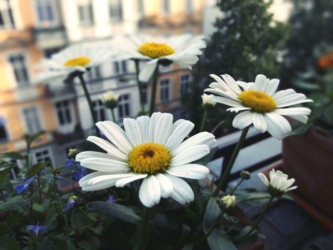 Blühende Margeriten Blumen auf Berliner Altbau Balkon Margeriten Blumen Bluehen Balkon Balkonien Balkony Berlin Blumenpracht🌺🍃 Blumenkasten Sommer Auf Dem Balkon Sommer ♡ Sommerfeeling Summertime Summer ☀