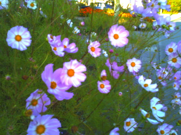 Hokkaido Japan Flower DigitalHarinezumi Cosmos Flower Plant Day No People Outdoors