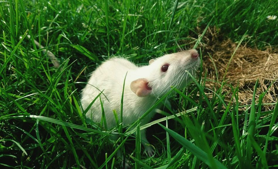 Grass Animal Themes One Animal Field Wildlife Animals In The Wild Grassy Green Color Nature Day Livestock Animal Head  Grass Area Outdoors Animal Behavior No People Blade Of Grass Calm Plant Beauty In Nature Green Color Rat Rodent Pet Photography  Pet Rat