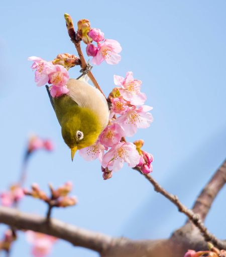 Bird Flower Fragility Growth Beauty In Nature Nature Freshness Petal No People Blossom Close-up Day Branch Low Angle View Outdoors Twig Plum Blossom Springtime Focus On Foreground Tree